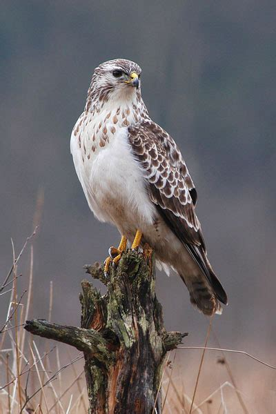 Common Buzzard | Bird Info Photos | The Wildlife