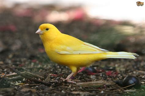 Common Illnesses in Canaries | Pets4Homes