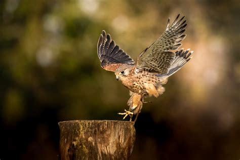 Common Kestrel | British Bird Of Prey Centre Wales