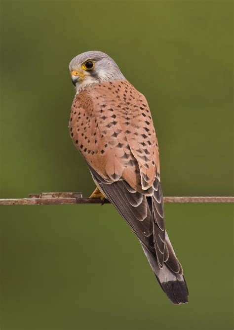 Common kestrel   Wikipedia