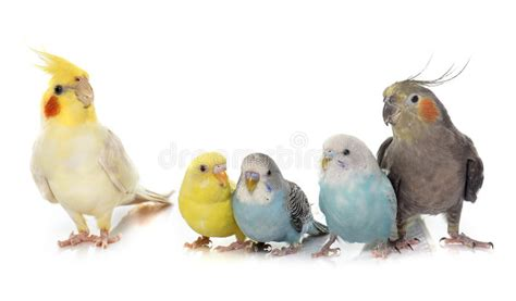 Common Pet Parakeet And Cockatiel Stock Photo   Image of ...