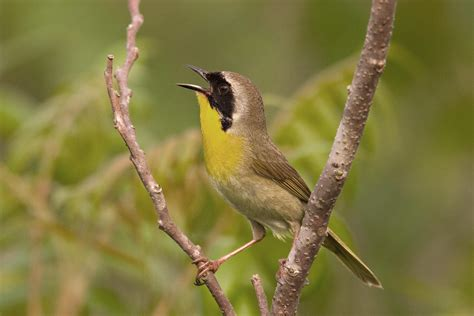 Common Yellowthroat | Audubon Field Guide