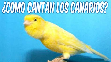 ¿COMO CANTAN LOS CANARIOS?   YouTube