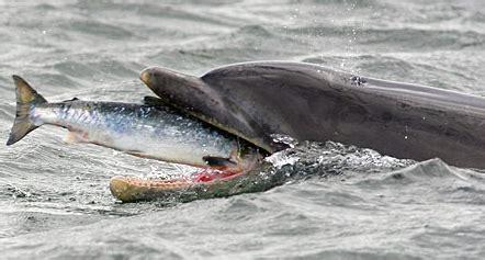 ¿Cómo comen los delfines y las ballenas? | Delfin Web ...