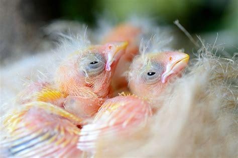Cómo conseguir crías de pájaros canarios