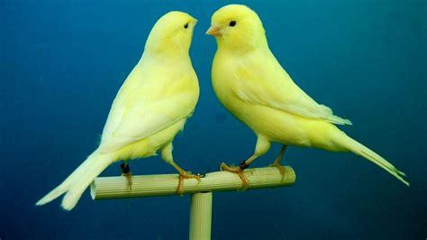 Cómo criar canarios en casa de forma correcta y eficaz