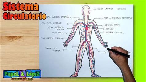 Cómo dibujar y pintar el Sistema / Aparato circulatorio ...