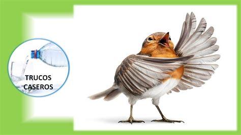 Como enseñar a cantar a tu pájaro con entrenamiento Trucos ...
