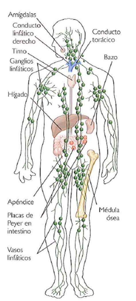 ¿Cómo funciona el sistema linfático? ~ INEVID