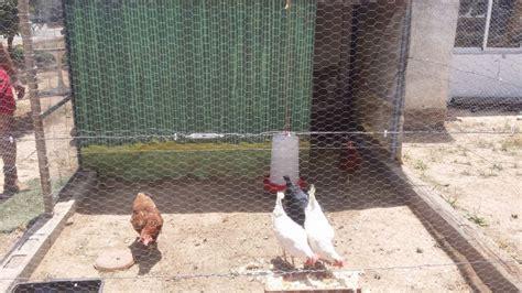 ¿Cómo hacer un gallinero?   Leroy Merlin