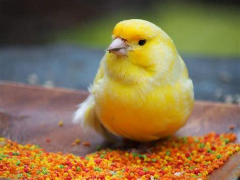 Como instalar un criadero de canarios
