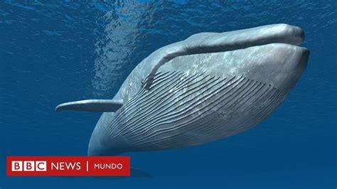 Cómo la ballena azul llegó a convertirse en el animal más ...