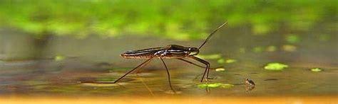 ¿Cómo pueden algunos insectos caminar sobre el agua?