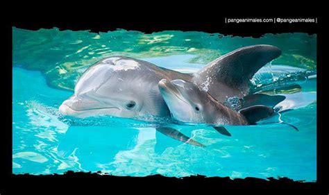 Como Se Reproducen Los Delfines Donde Viven Como Nacen