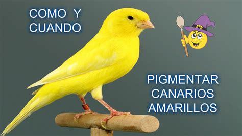 Como y cuando pigmentar canarios amarillos   YouTube