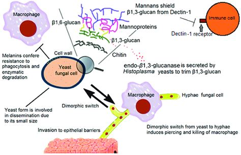 Components of the cell wall that help fungi to evade the ...