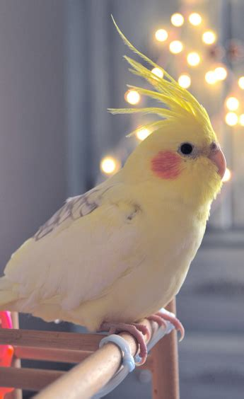 COMPORTAMIENTO DE LAS NINFAS ≡ Lenguaje Corporal aves【2019】