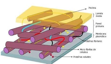 Composición química de la pared celular de las células ...