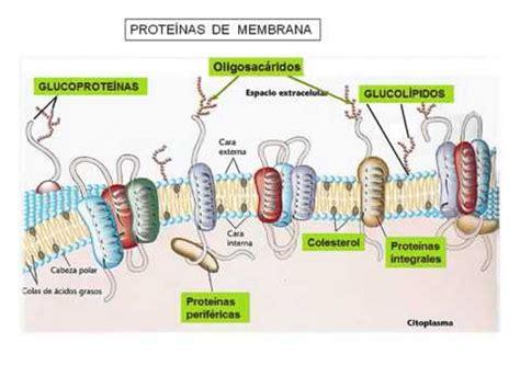 Composicion y estructura de la membrana plasmatica 360p ...
