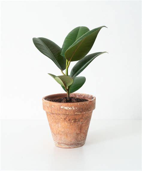 Comprar Ficus Robusta — Monstera.es en 2020 | Ficus ...