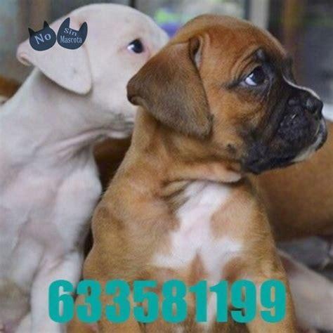 Comprar mascotas: perros raza boxer