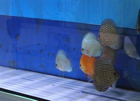 comprar peces disco online, pez disco blue diamond