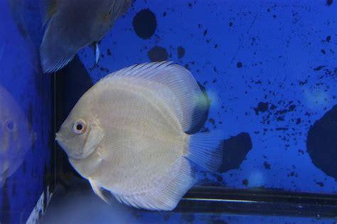 comprar peces disco online, pez disco cobalto