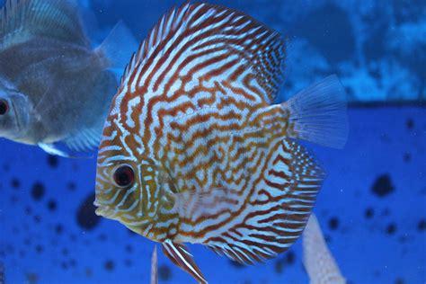 comprar peces disco online, pez disco Turquesa rojo
