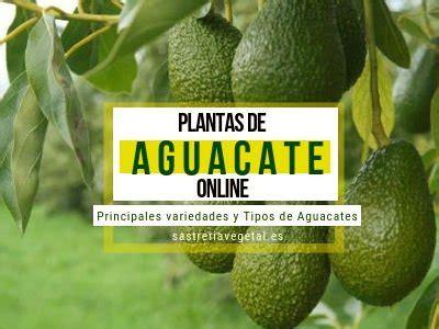 Comprar Planta o Árbol Aguacate o Palta | Comprar Arboles ...