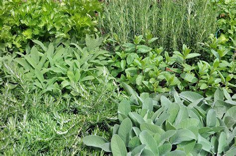 Comprar plantas aromáticas
