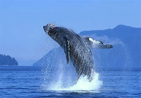 Con botas y a lo loco: La migración de las ballenas grises.