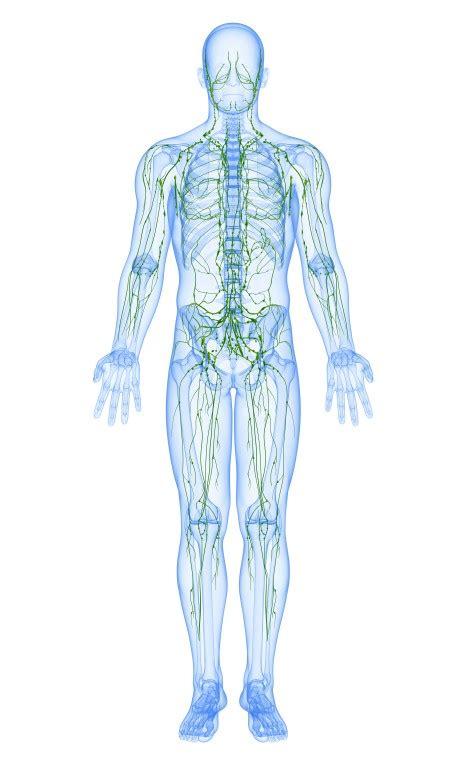 Conoce más sobre el sistema linfático