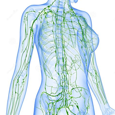 Conoces tu sistema linfático? | RRmedicina Biológica