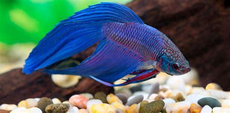 Consejos comprar un pez Betta y accesorios para su acuario