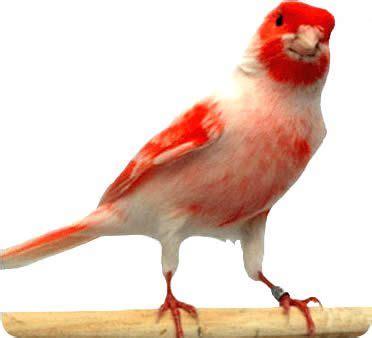 Consejos para comprar un canario   Pájaros | Mundo Animal ...