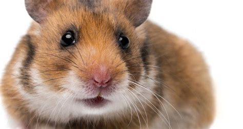 Consejos para el cuidado de los hámsters   Bekia Mascotas