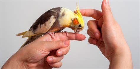 Consejos para la compra de una cacatúa ninfa