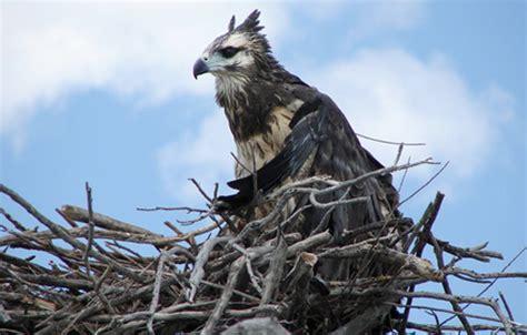 Conservación de las aves rapaces en Argentina | CONICET