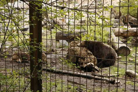 Conservation group wants Calgary Zoo s 3 orphaned grizzly ...