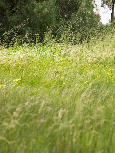 COP   urban grasslands   1830 | Weed grass Wild Oats ...
