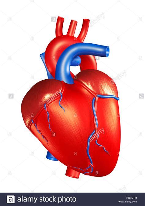 Corazón humano, ilustración 3D Fotografía de stock   Alamy