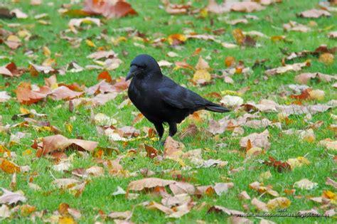 Corneja negra  Corvus corone : Una negra pareja en un ...
