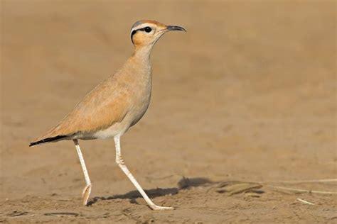 Corredor sahariano  Cursorius cursor  | Aves de ...