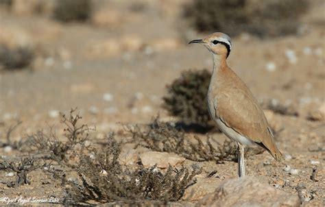 Corredor sahariano  Cursorius cursor  – Birding Iberia