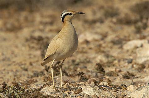 Corredor Sahariano foto   Imagenes de Aves de Fuerteventura