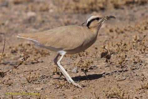 Corredor Sahariano | Wiki Reino Animalia | Fandom
