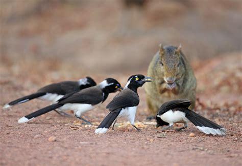 Corvidae   WikiAves   A Enciclopédia das Aves do Brasil