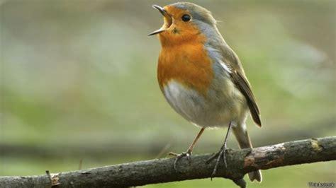 Crean un decodificador del canto de los pájaros   BBC News ...