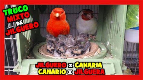 CRIA de MIXTOS de JILGUERO  JILGUERO CON CANARIA o ...