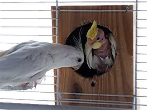 Cría de ninfa  30 días  quiere salir del nido.AVI   YouTube